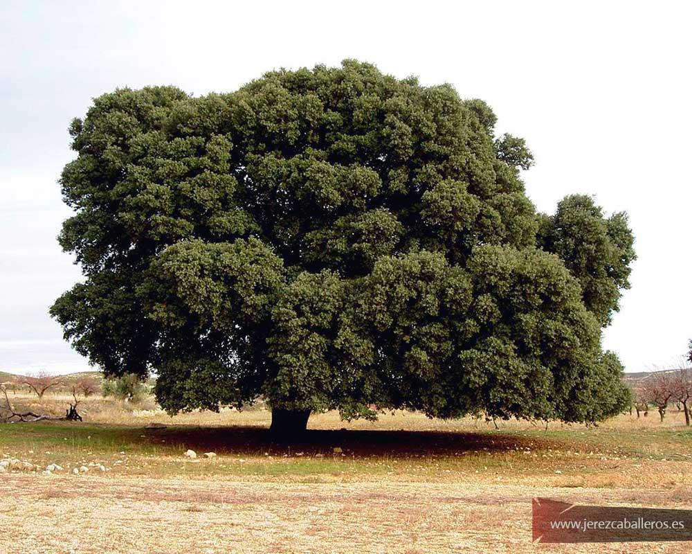 Encina (Quercus rotundifolia)